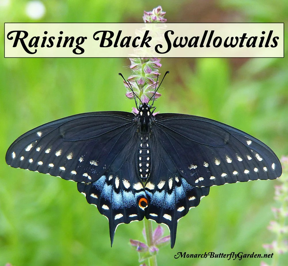 Adventures in Raising the Eastern Black Swallowtail Butterfly