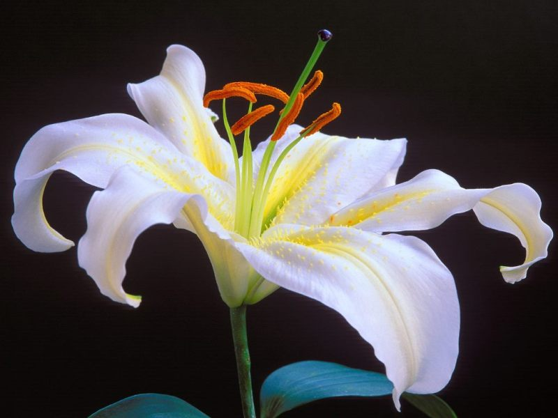 Lilies Flowers Wallpaper13   Moods Mania Lilies Flowers Wallpaper13