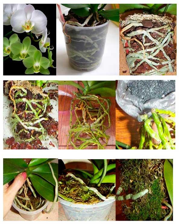 Peresadka-orhidey-falanopsis-foto