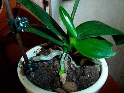 Балалар-орхидеят-фалаенопсис-фото