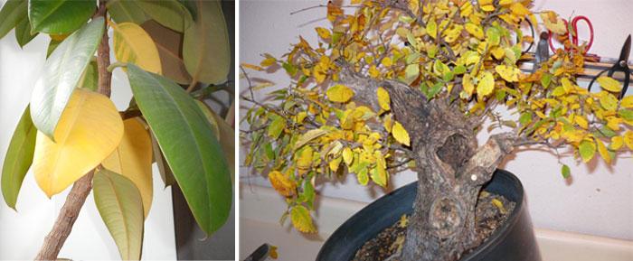 Žluté listy Ficus.