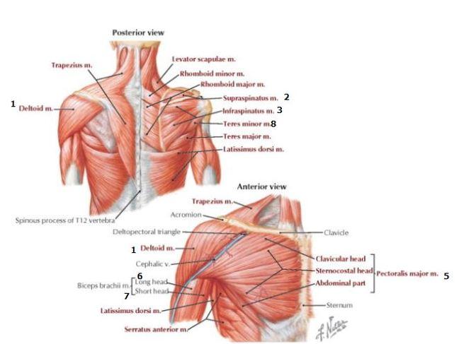 Shoulder Bursa Anatomy Rear View