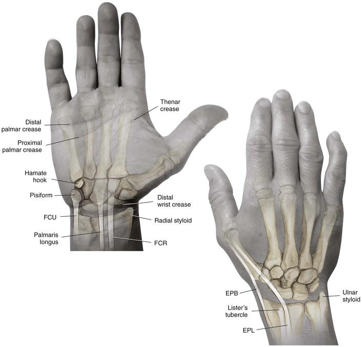 Scapholunate Ligament Anatomy