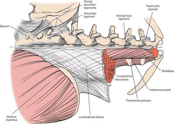 Multifidus Anatomy And Rotator Muscle