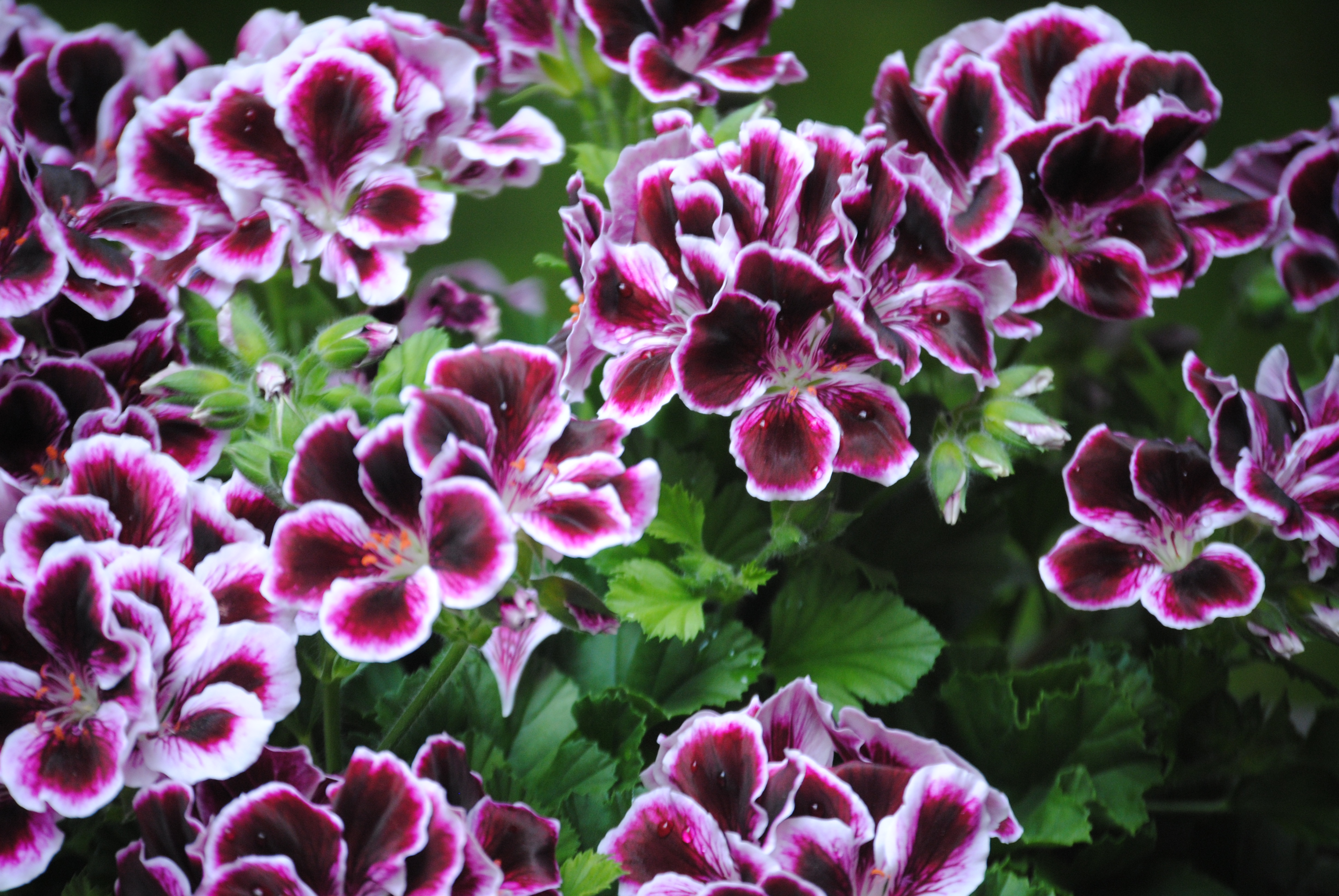 All Parts Of The Geranium Are Toxic To Dogs And