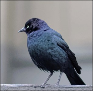 Bird Lore: Brewer's Blackbird - My Edmonds News