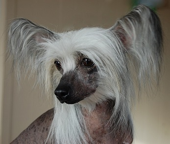 HashTag # Bengal cat - chat & Crestyle Chinese crested ...