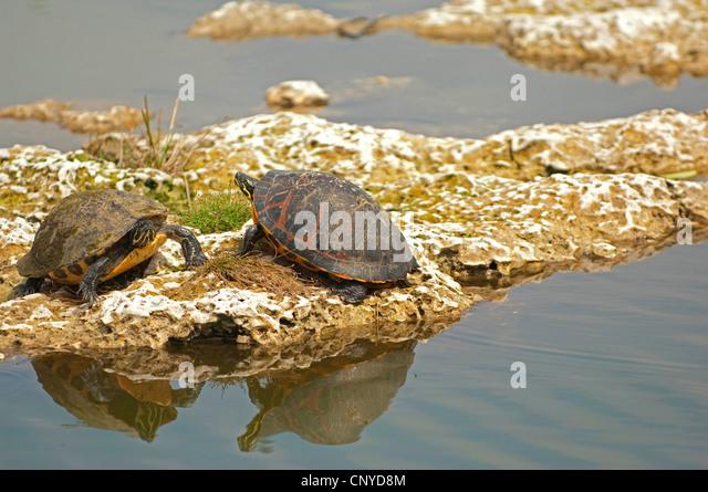 Lost Sri Lanka Tortoise