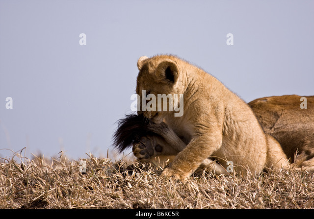 Lion Over Standing Cubs