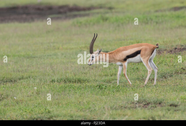 Thomsons Gazelle Giving Birth