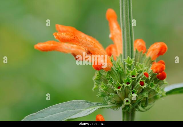 Pincushion Protea Plant