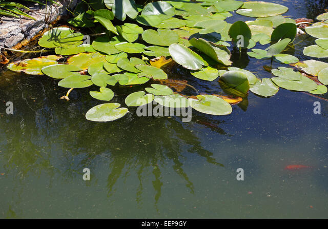 Semi Aquatic Plants Sale