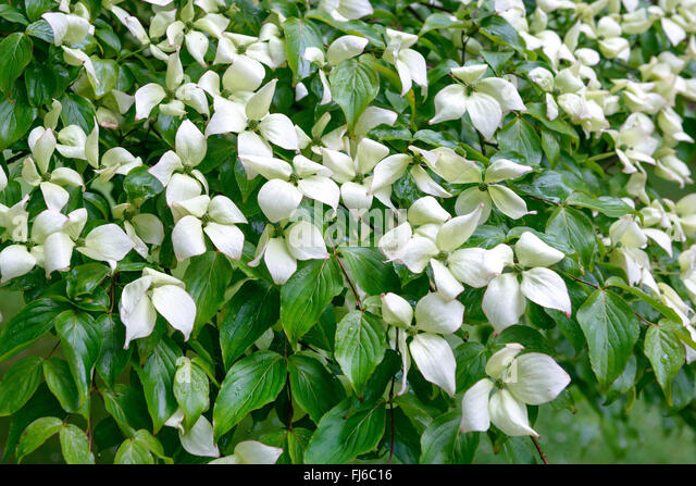 Evergreen Kousa Dogwood