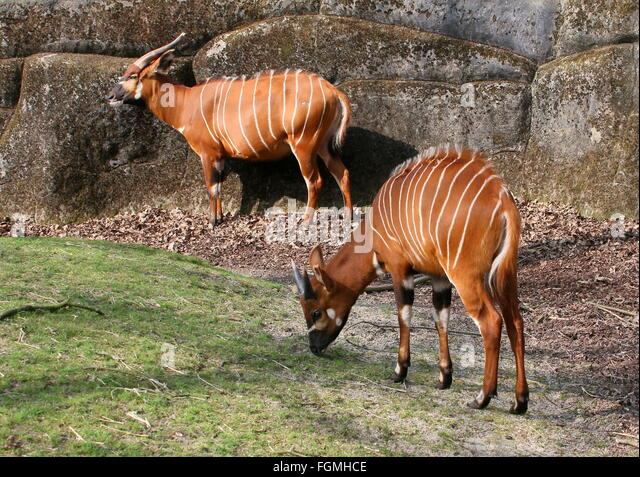 Male Bongo Stock Photos & Male Bongo Stock Images - Alamy
