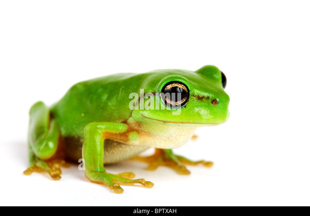 Poison Frog Jumping Golden Dart
