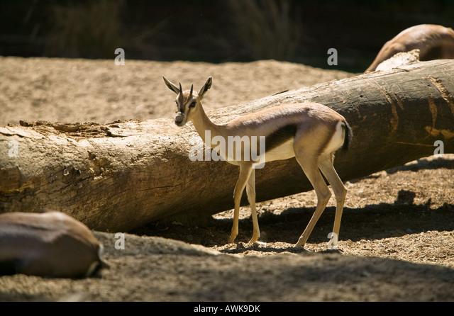 Gazelle Thomsons Birth Giving