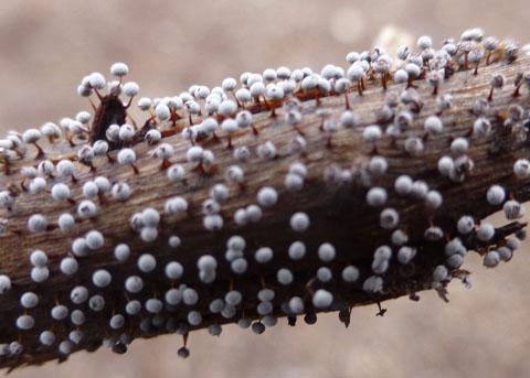 Slime Mold Myxomycete