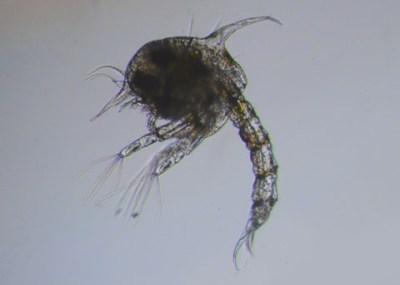Yellow Shore Crab, Hemigrapsus oregonensis