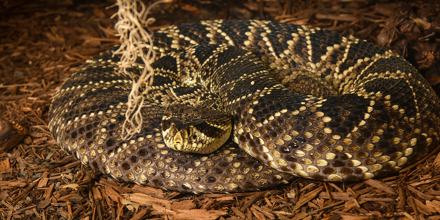 Eastern diamondback rattlesnake | Smithsonian's National Zoo