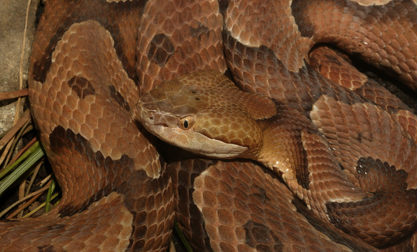 Northern copperhead | Smithsonian's National Zoo