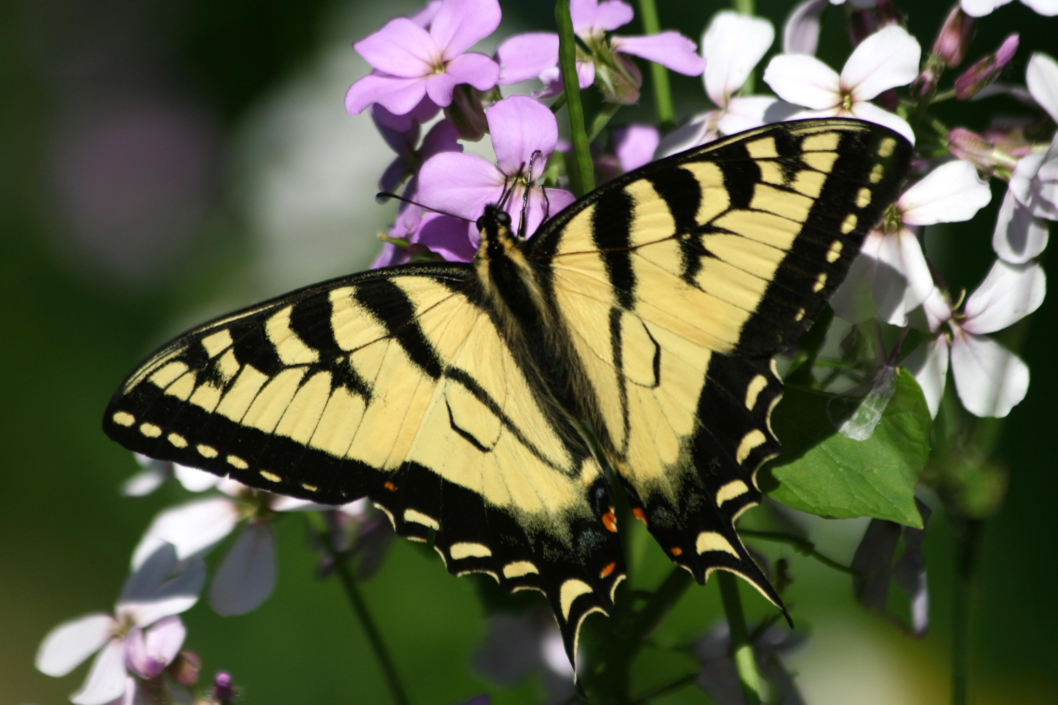 Eastern Tiger Swallowtail Butterflies | Naturally Curious ...
