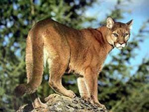 Maine man reports Mountain Lion sighting; Arizona says DNA ...