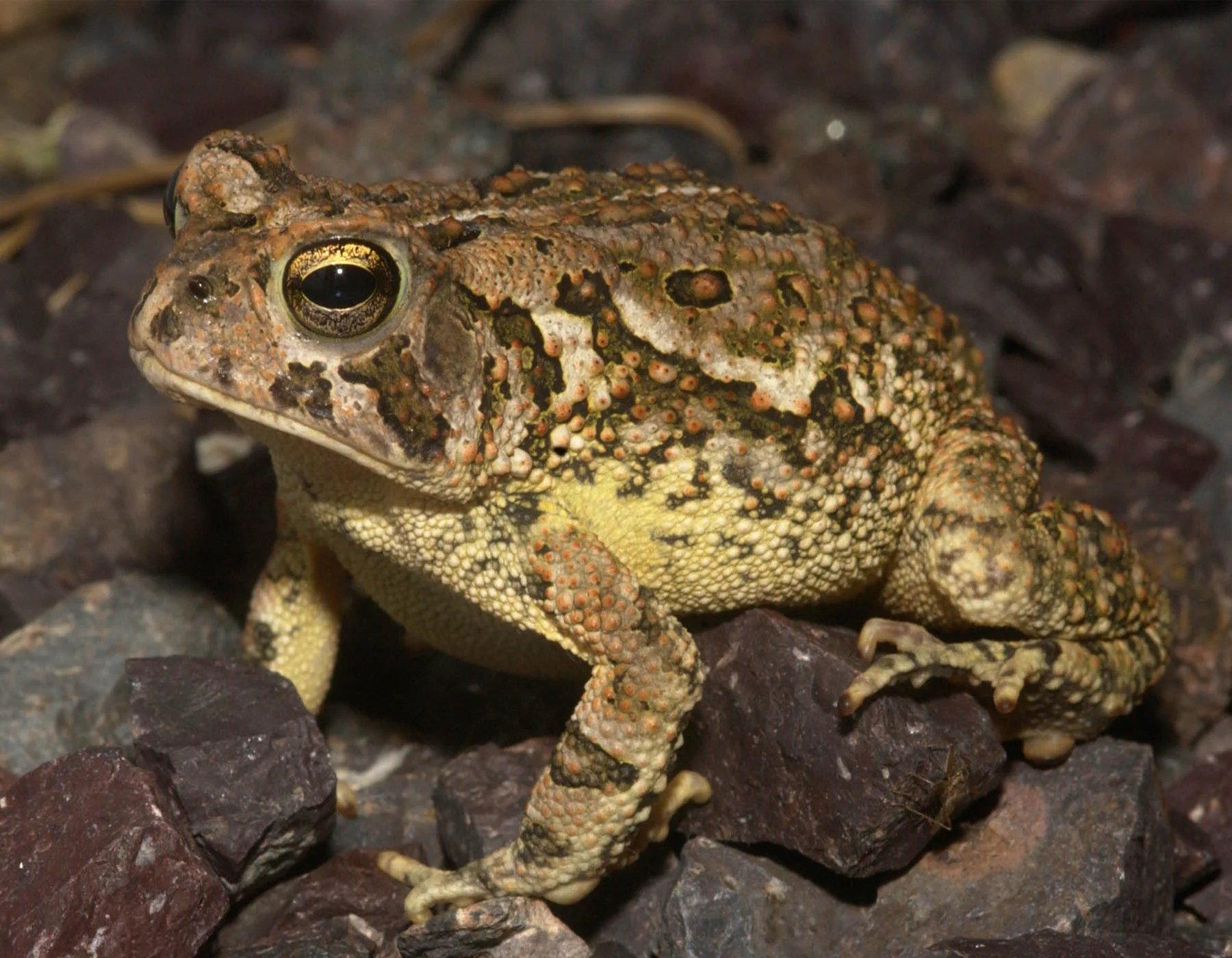 Fowler's Toad | MDC Discover Nature