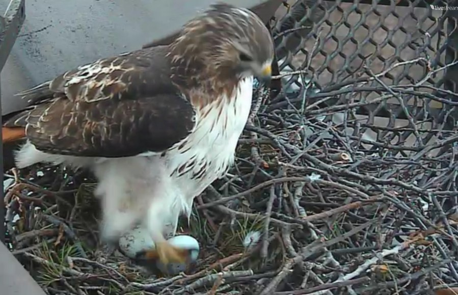 Cornell University Hawk Cam   Watch Cornell Hawks   24 Hour Stream