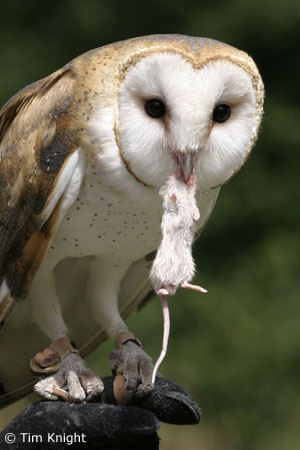 Barn Owl Facts - NatureMapping