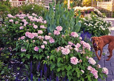 Rose Cuttings Neil Sperry S Gardens