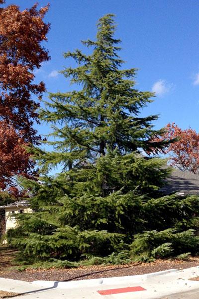 Blue Spruce Trees Texas