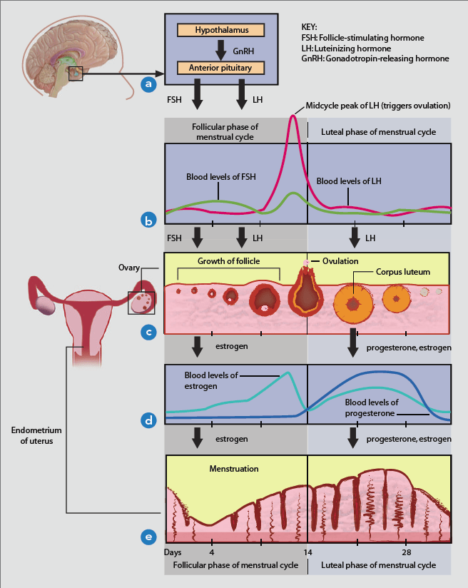 The roller coaster of female hormones – are you enjoying ...