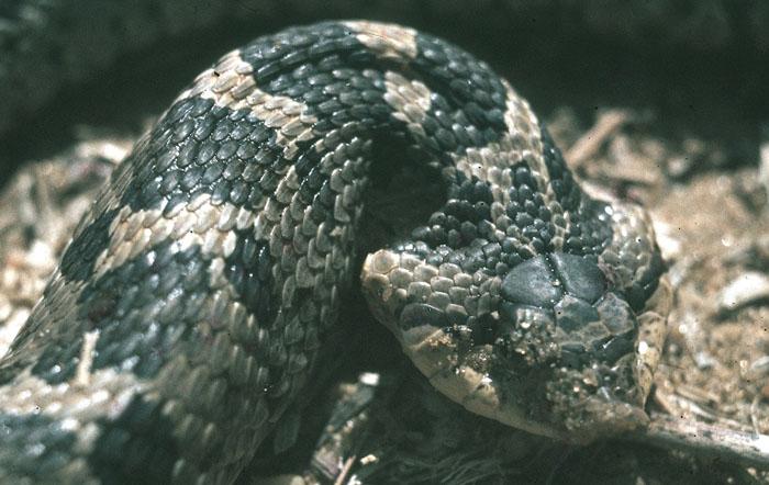 Eastern Hognose Snake -Heterodon platirhinos | Wildlife ...