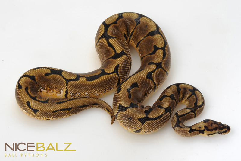 Spider Ball Pythons, Python Morphs for Sale Online, Buy ...