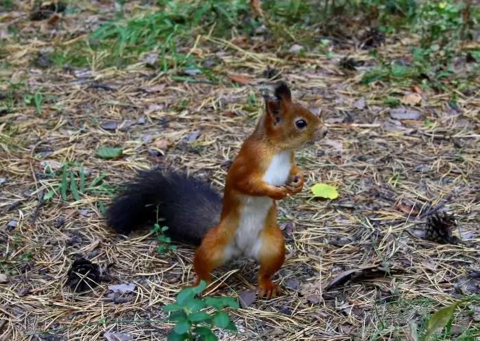 Yellow-Torn Equirrel (Sciurus Gilvigularis) Foto