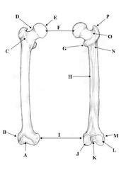 Anatomy, Pelvic Girdle & Appendage flashcards | Quizlet
