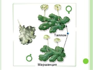 Sexuell reproduktion av bryofyter