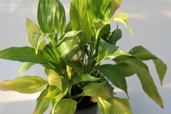 listy spathiphyllum zežloutnou
