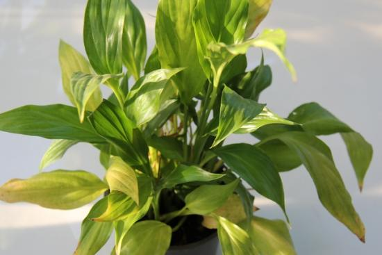 Spathifulum Yellow Daun.