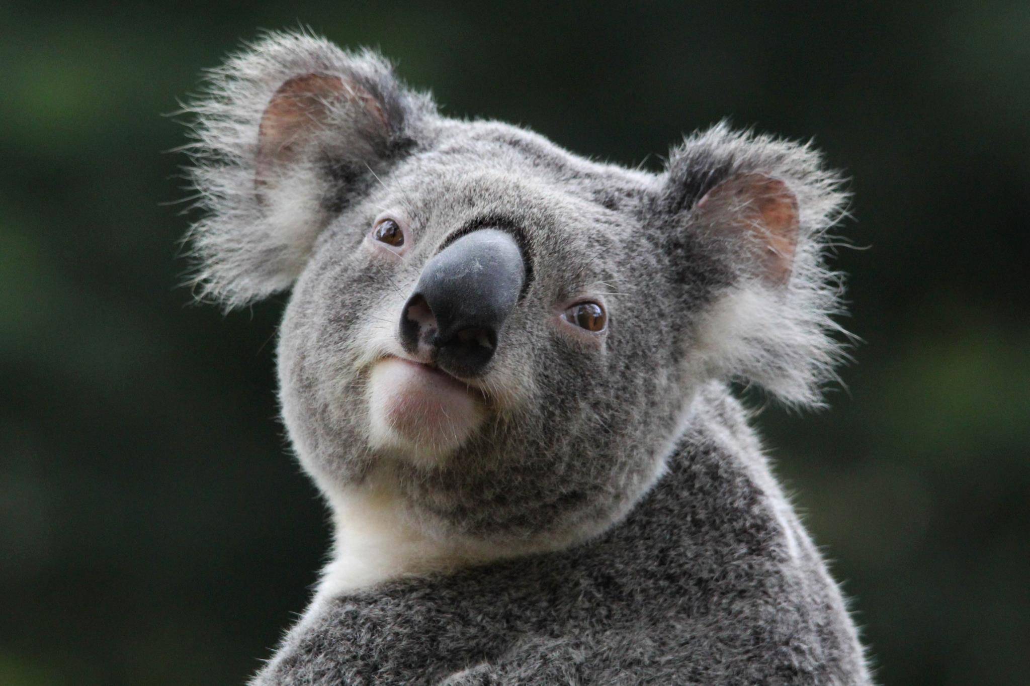 smiling koala picture - HD2048×1365