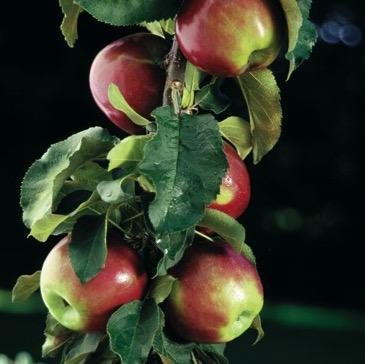 Scarlet Sentinel Columnar Apple Tree One Green World