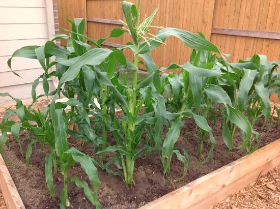 Growing Raised Garden