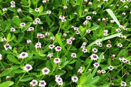 Weed with small white flowers flower shop near me flower shop collections flower decoration ideas white weed flowers image collections flower decoration ideas lawn weed with small white flowers image collections mightylinksfo