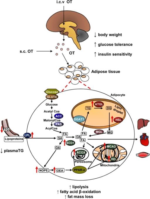 Phentermine Mg Dosage