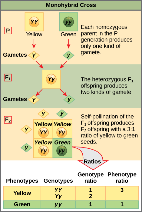8.2 Laws of Inheritance – Concepts of Biology – 1st ...