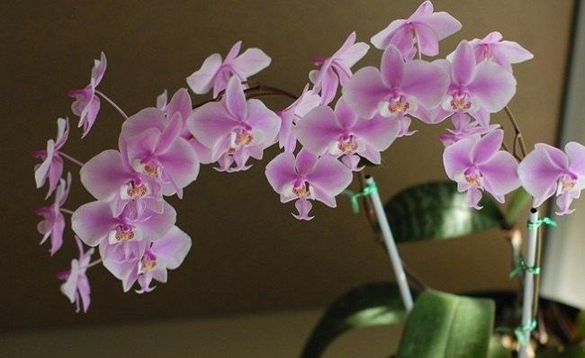 Ra hoa phalaenopsis tại nhà