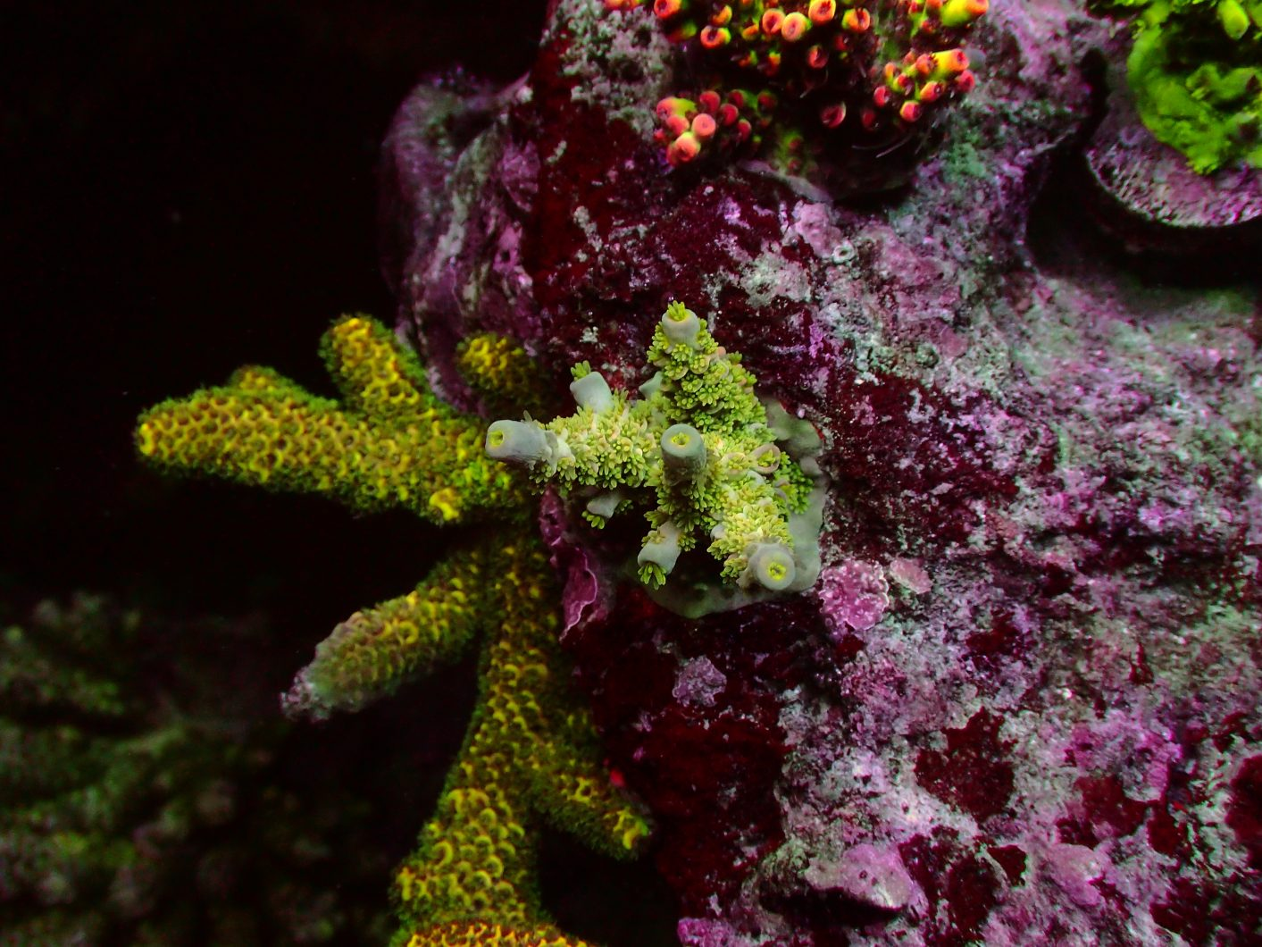 Amazing Colorful Sps Corals Under Led Lights Reef