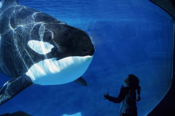 WATCH: World's Loneliest Orca Bangs Head Against Tank in Heartbreaking Moment That Will Make You Cry