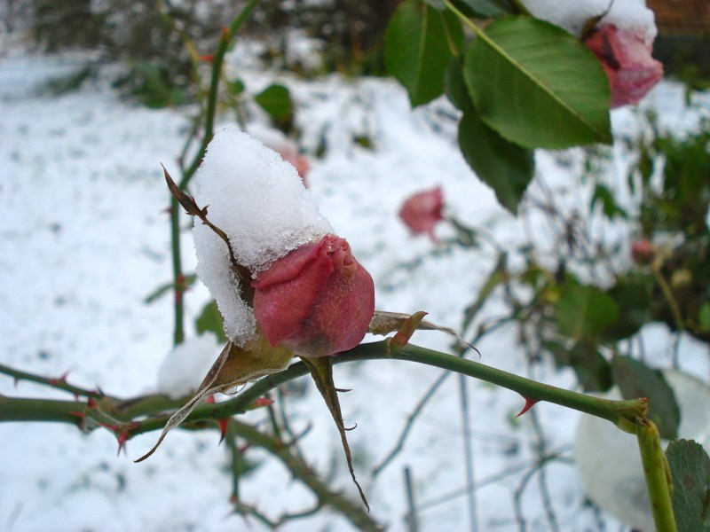 Snow on Flowers Snow on Garden Roses