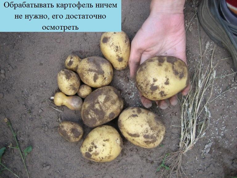 Comment se débarrasser des mites dans des pommes de terre creusées, des mesures de contrôle